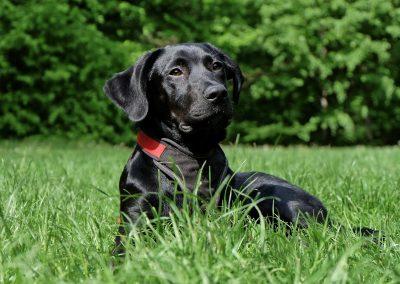 Un chien vif et sportif avec une alimentation saine et de qualité